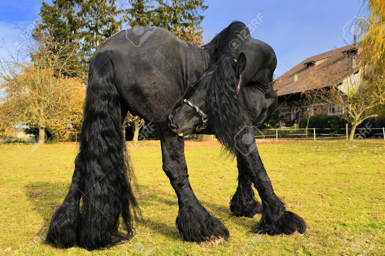 Friesian Black Horse In The Field Near A Cottage Stock Photo Picture And Royalty Free Image Image 16977157