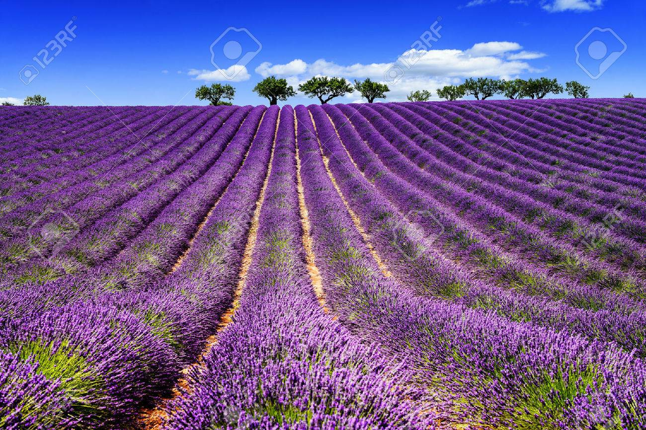 Lavender field in Provence, near Sault, France - 37109262