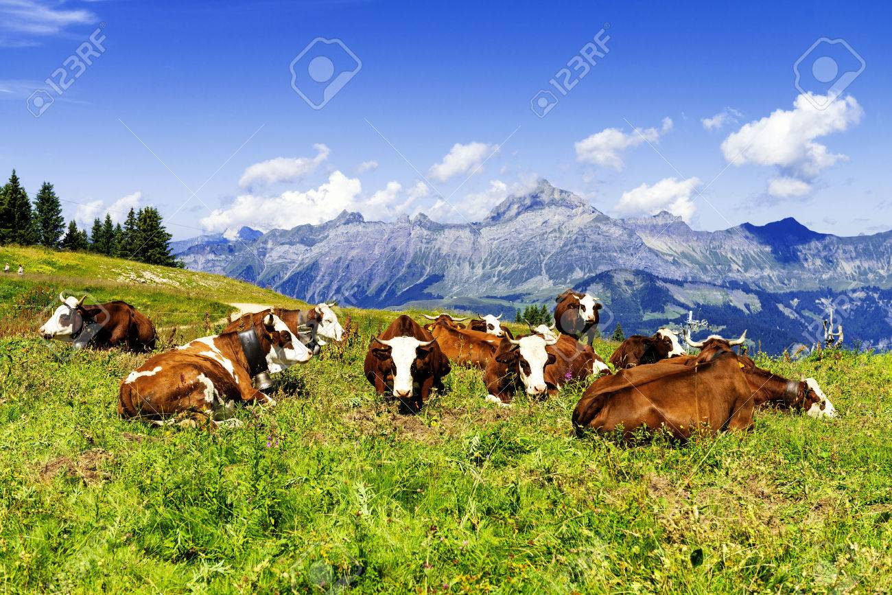 Cow, farm animal in the french alps, Abondance race cow, savy, beaufort sur Doron - 37109631