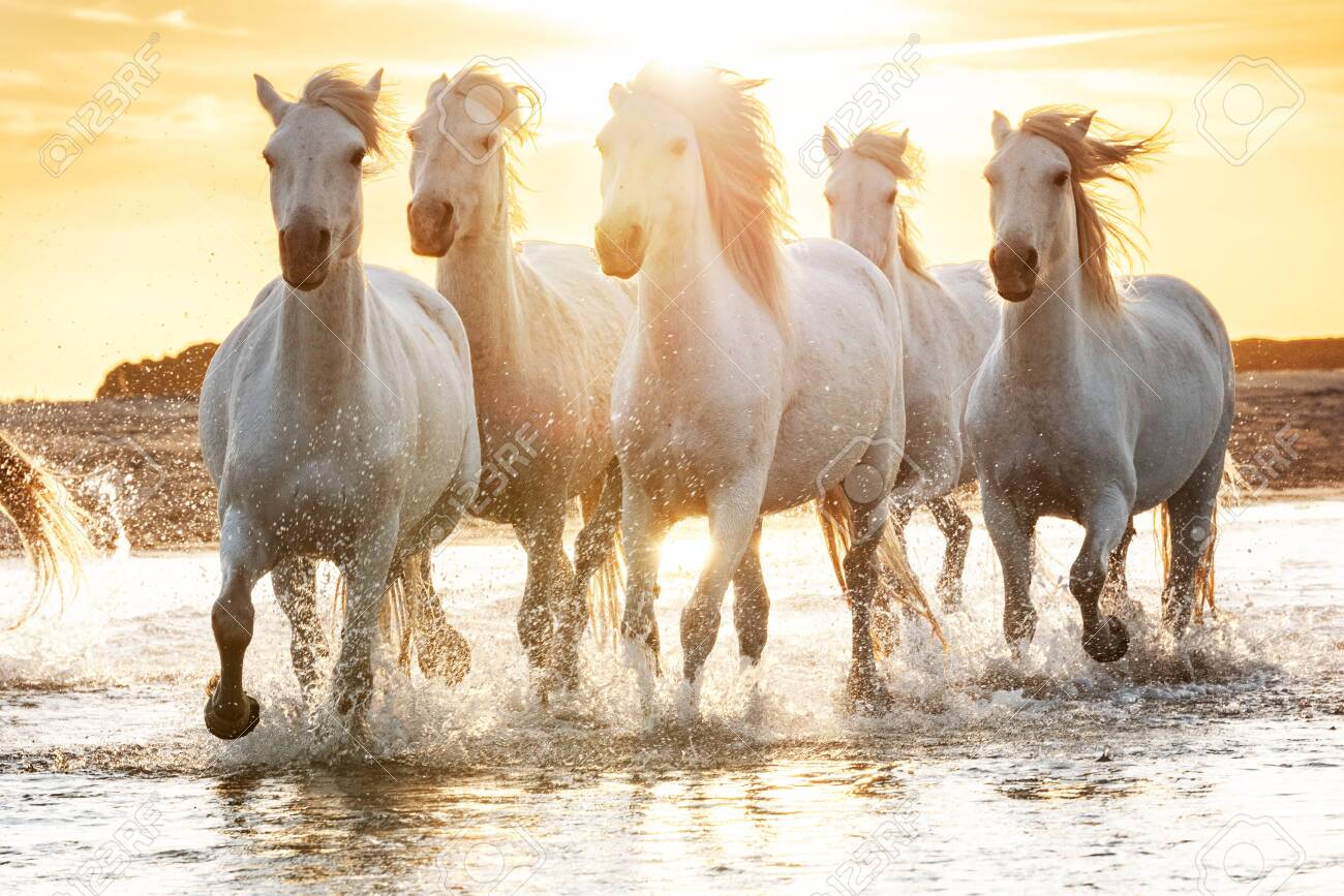 White Horses Are Walking In The Water All Over The Sea In Camargue Stock Photo Picture And Royalty Free Image Image 137226864
