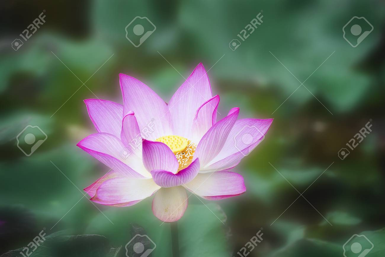Beautiful Water Lily Or Lotus Flowerthe Beauty Of Nature Is Stock