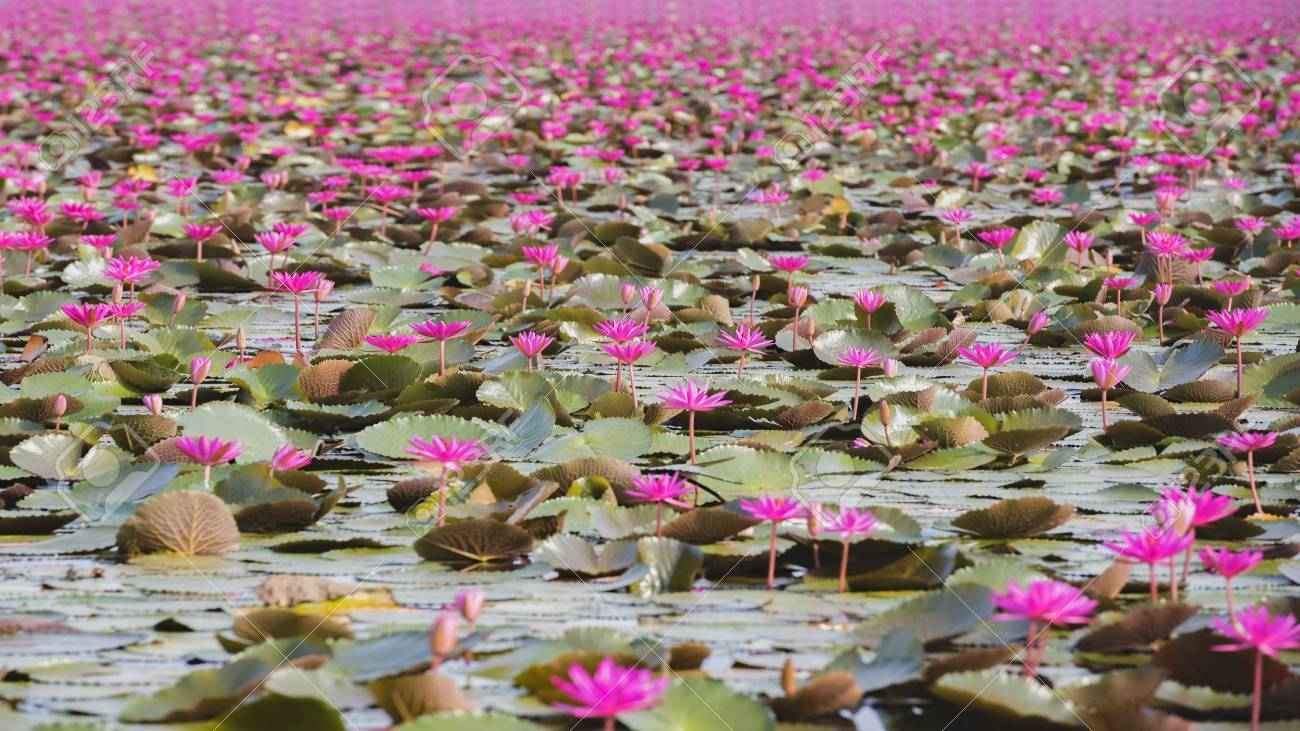 Picture Of Beautiful Lotus Flower Field At The Red Lotus Seaudon