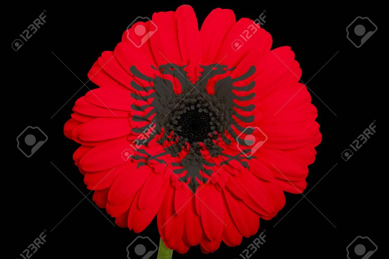 Gerbera Daisy Flower In Colorsnational Flag Of Albaniaon Black