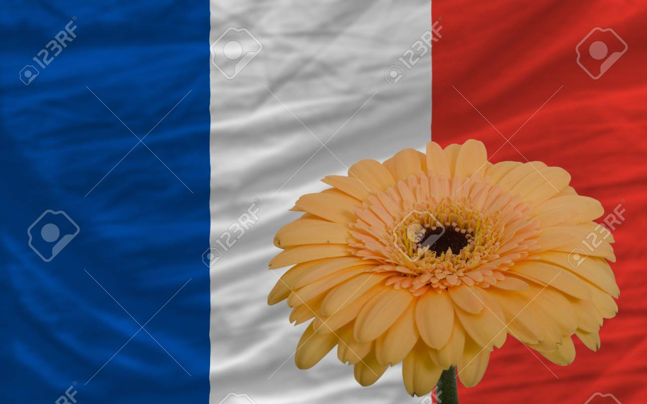 Gerbera Daisy Flower And National Flag Of France As Concept And
