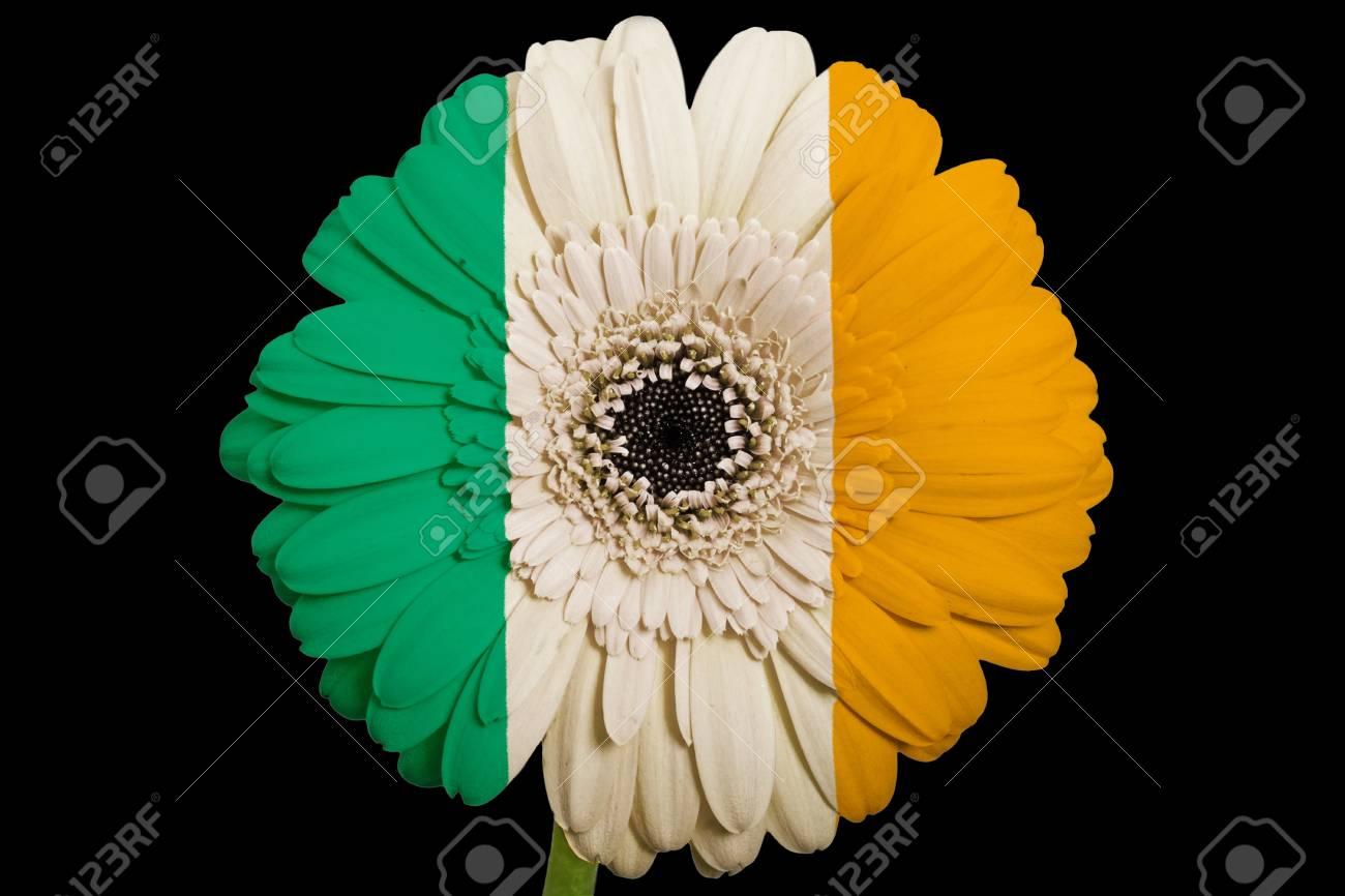 Gerbera Daisy Flower In Colorsnational Flag Of Irelandon Black