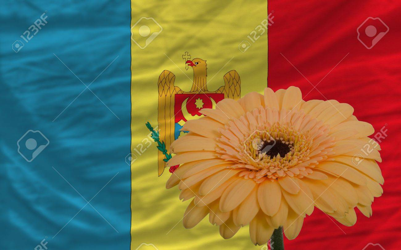 Gerbera Daisy Flower And National Flag Of Moldova As Concept Stock