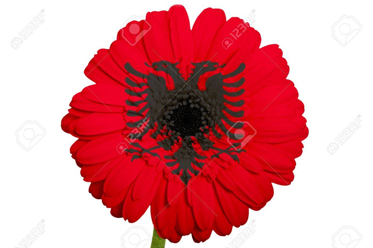 Gerbera Daisy Flower In Colors National Flag Of Albania On White