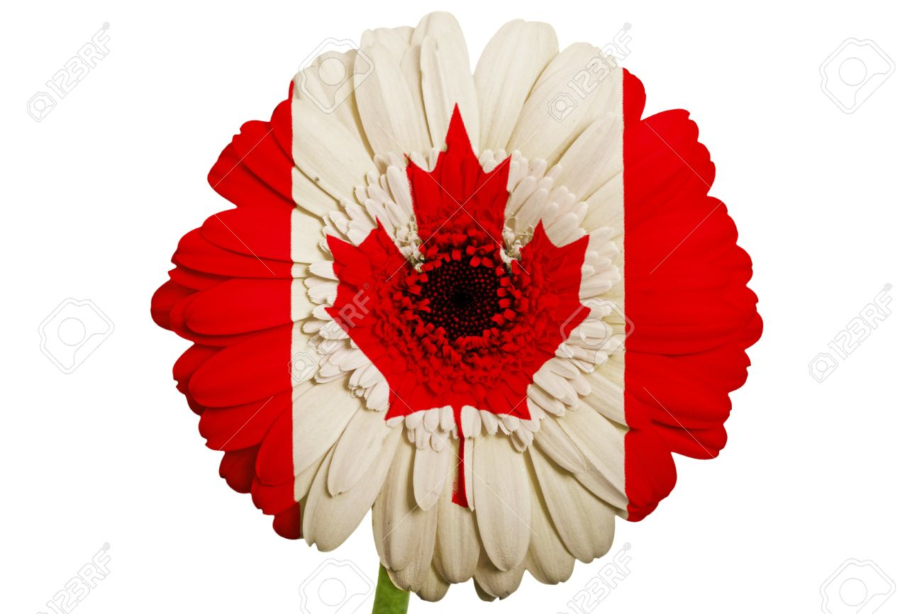 gerbera daisy flower in colors national flag of canada on white