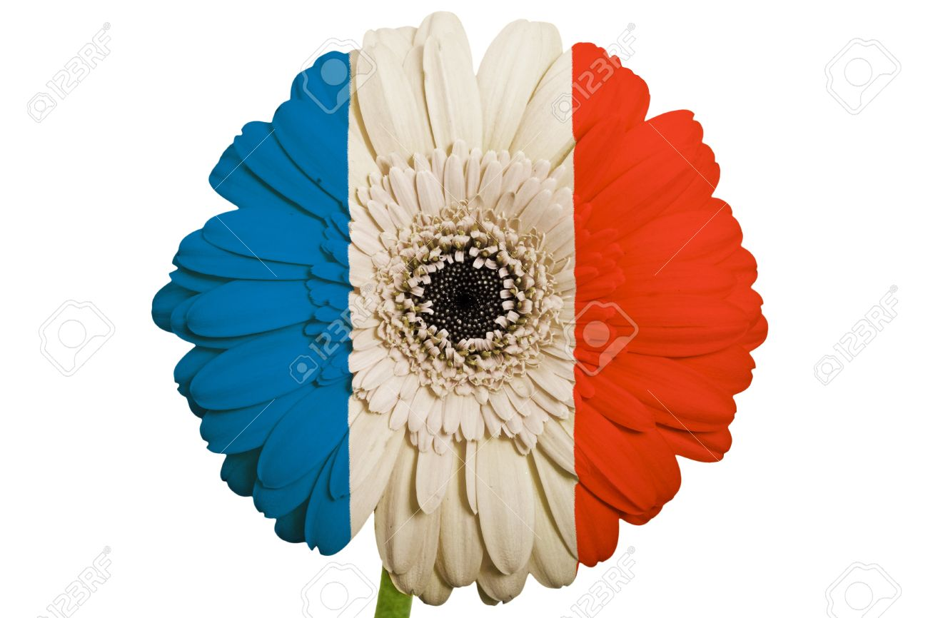 Gerbera Daisy Flower In Colors National Flag Of France On White