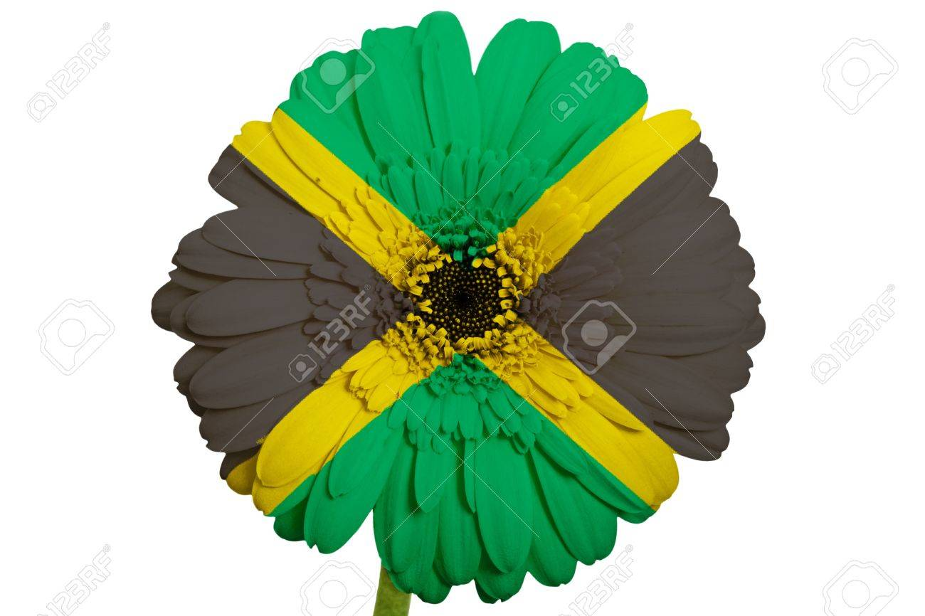 Gerbera Daisy Flower In Colors National Flag Of Jamaica On White