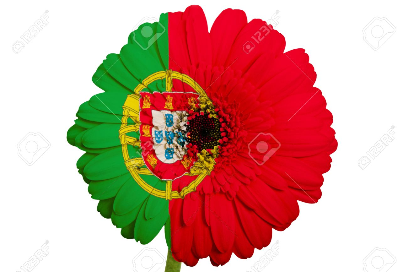 Gerbera daisy flower in colors national flag of portugal on white gerbera daisy flower in colors national flag of portugal on white background as concept and symbol dhlflorist Images