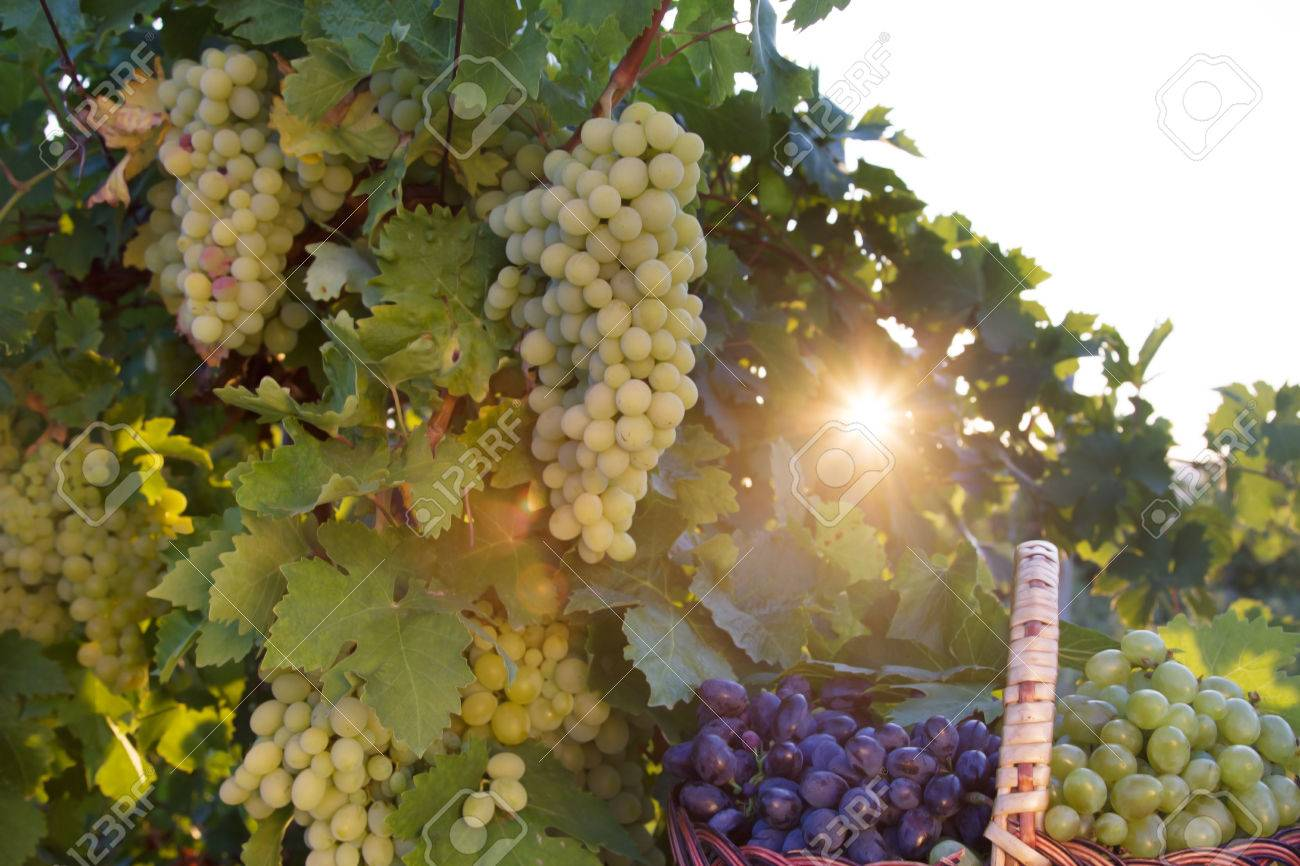 Basket With Grapes In The Sunlight In The Garden Of The Grape Stock ...