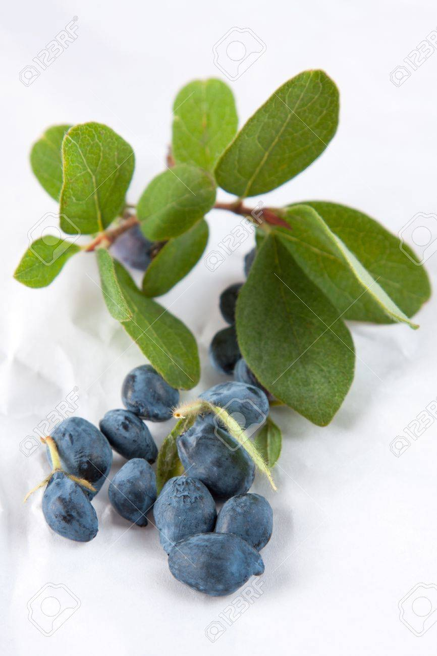 Honeysuckle leaves and berries from the sweetberry honeysuckle vine, lonicera caerulea, used as a colourant and flavouring in processed products Stock Photo - 14442501