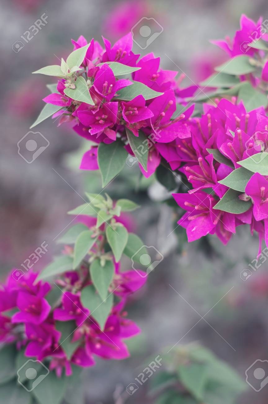Vertical Photo Of Bougainvillea Flowers Bush With Beautiful Stock