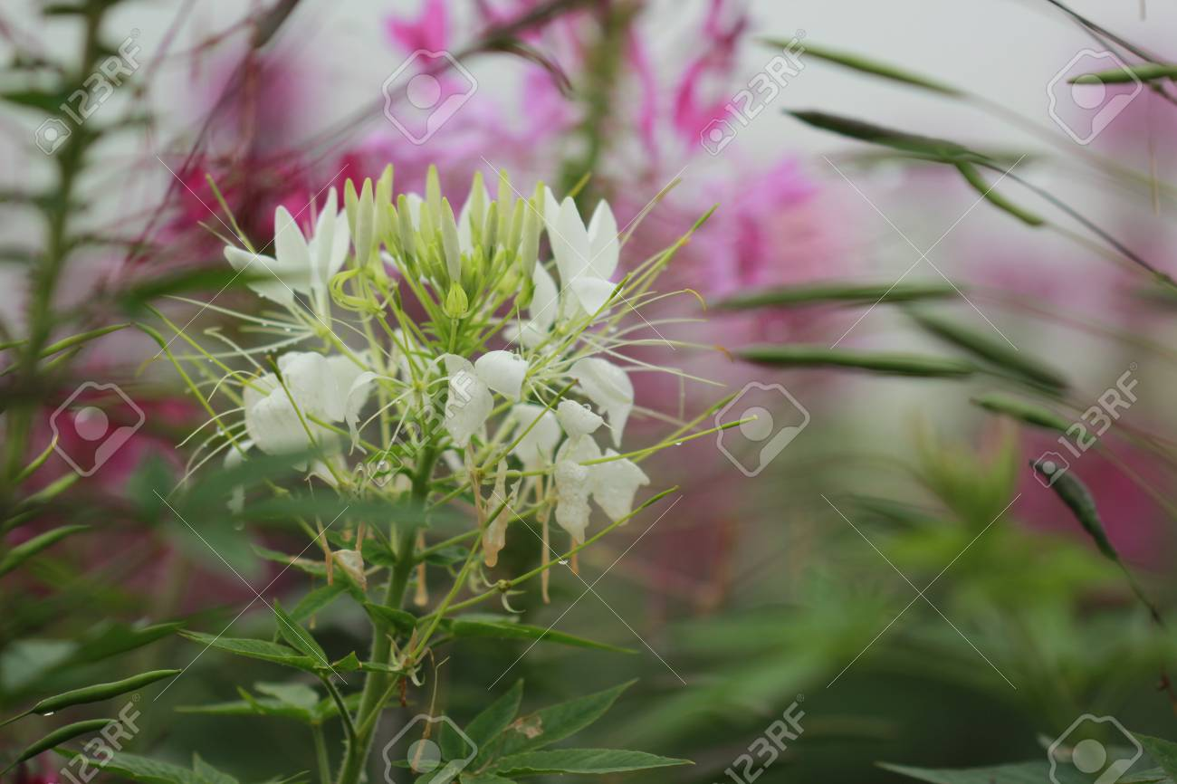 White Spider Flower Close Up Stock Photo Picture And Royalty Free