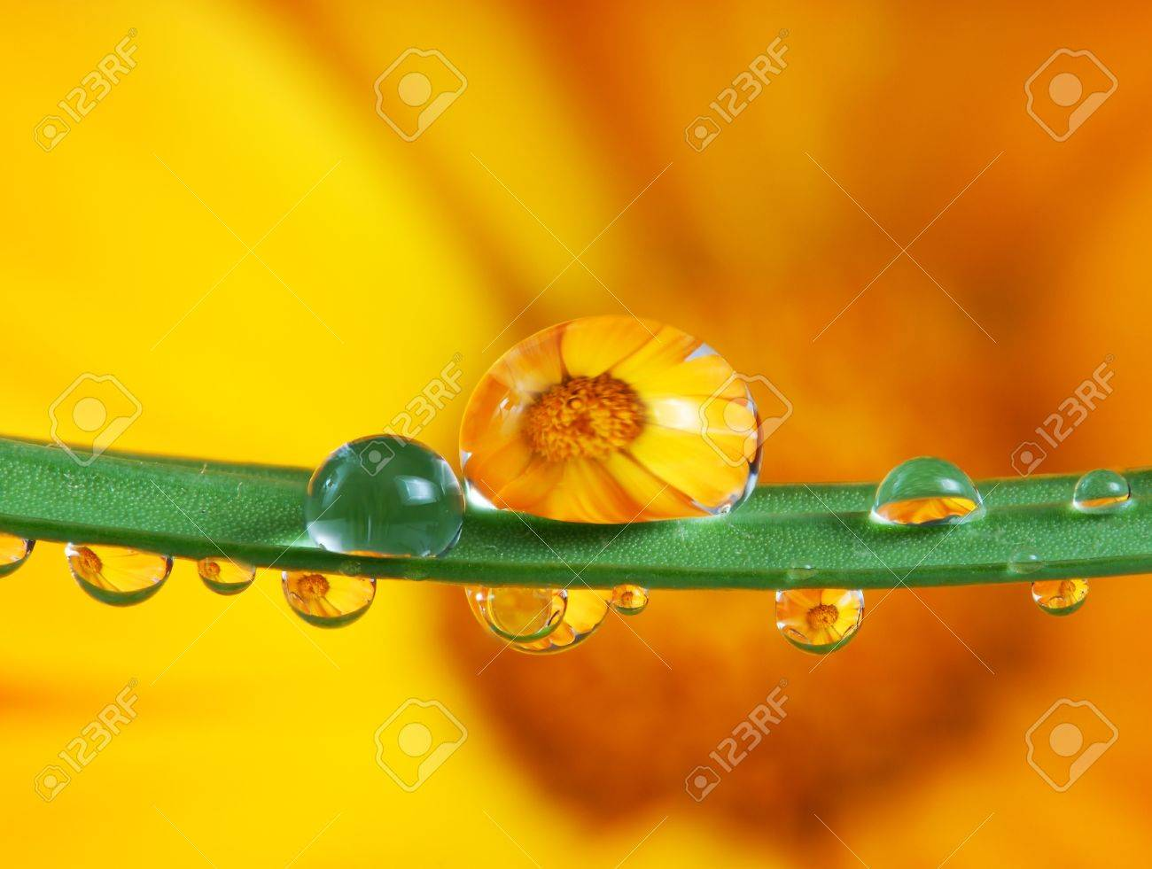 pot marigold flower mirroring inside dew drops Stock Photo - 11705973