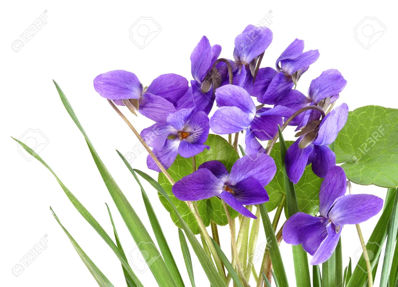 violets in a grass Stock Photo - 12884419