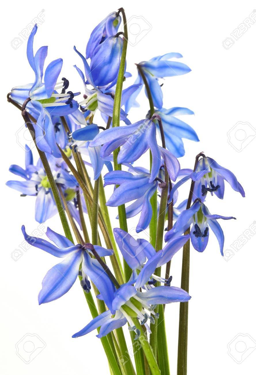 Scilla blue spring flowers stock photo picture and royalty free scilla blue spring flowers stock photo 12884415 dhlflorist Choice Image