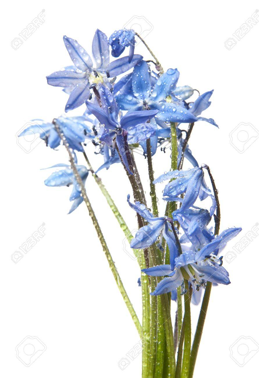 scilla  - blue spring flowers with rain drops Stock Photo - 12884417