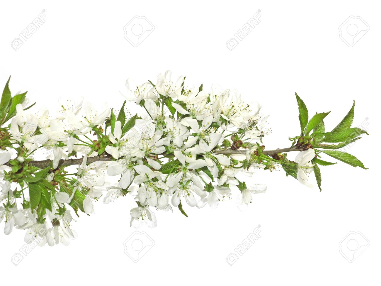 spring cherry flowers isolated Stock Photo - 13472516