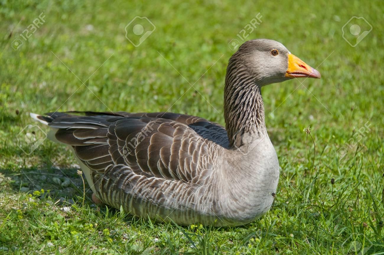 wild goose resting in grass Stock Photo - 13566156