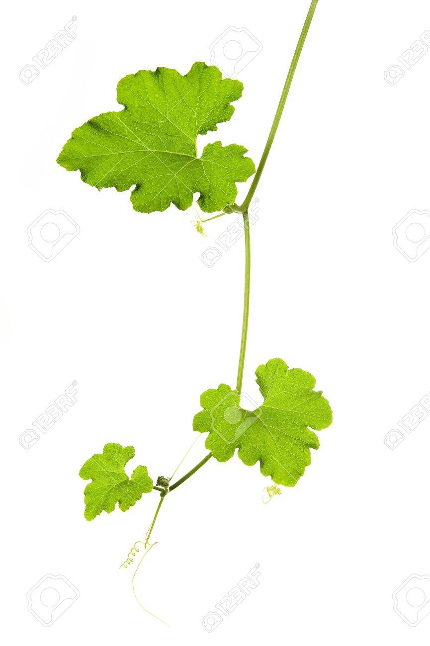 a green liana plant isolated on a white background Stock Photo - 15712953