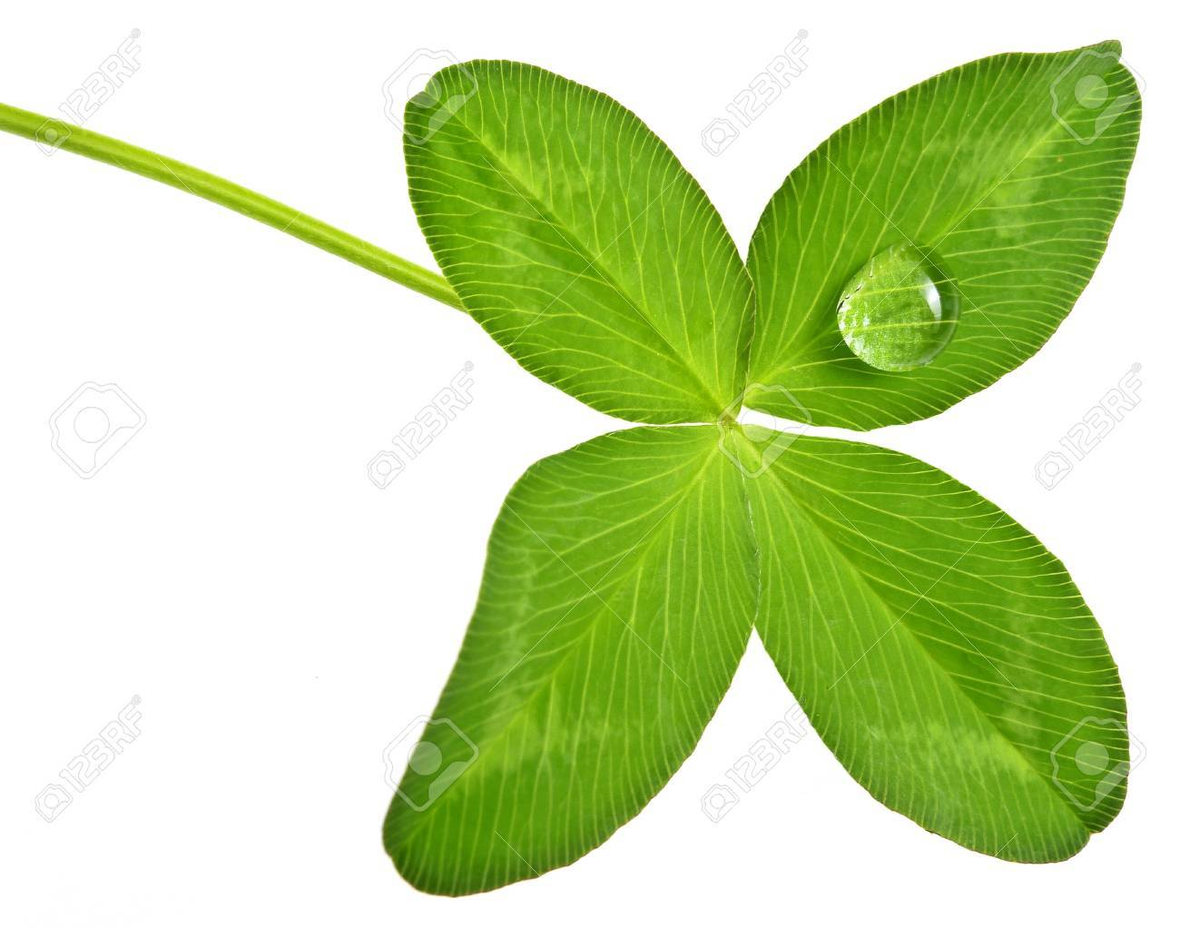 four leaf clover with dew drop Stock Photo - 17234325