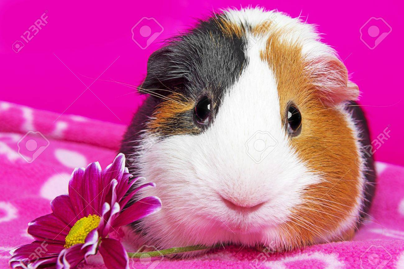 cute guinea pig with a flower Stock Photo - 17931868