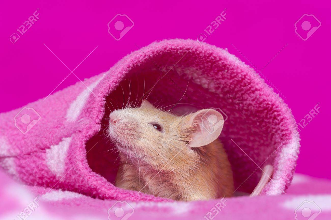 cute little mouse resting in a pink pullover sleeve Stock Photo - 17931859
