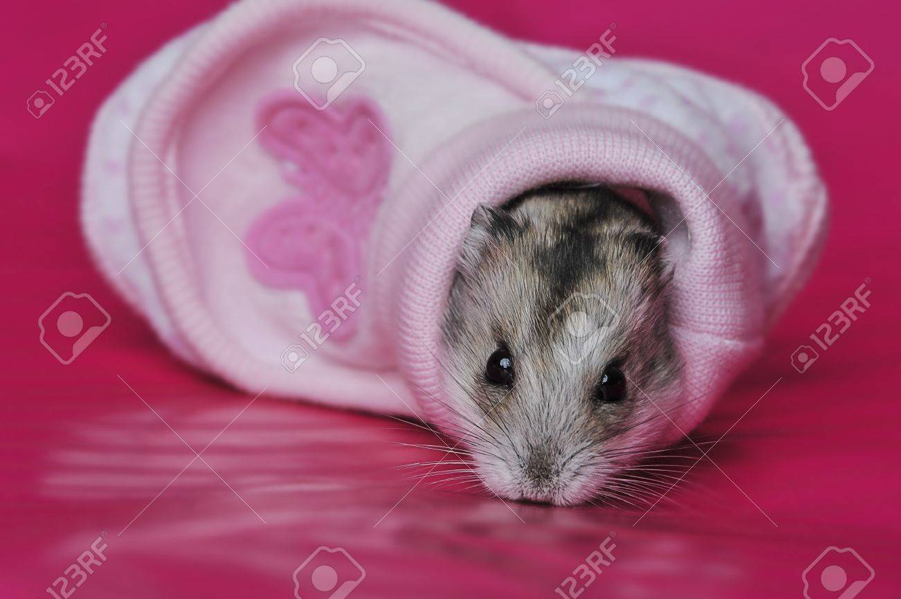 cute baby hamster sleeping in a little shoe