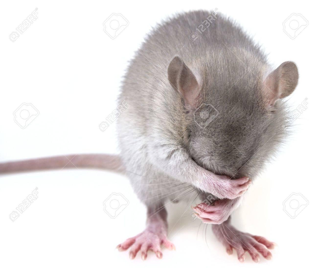 a little mouse hiding her muzzle - 19160288