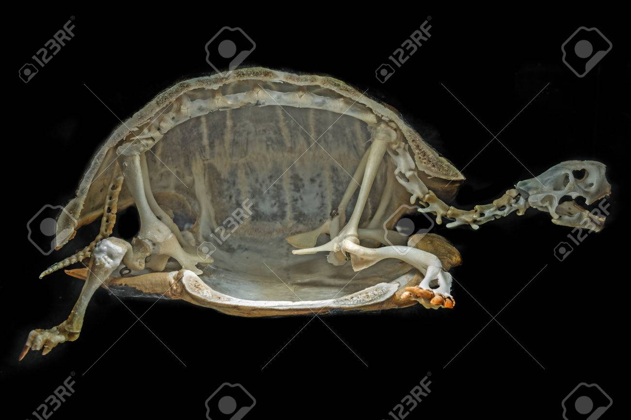 Skeleton On A Turtle Stock Photo, Picture And Royalty Free Image ...