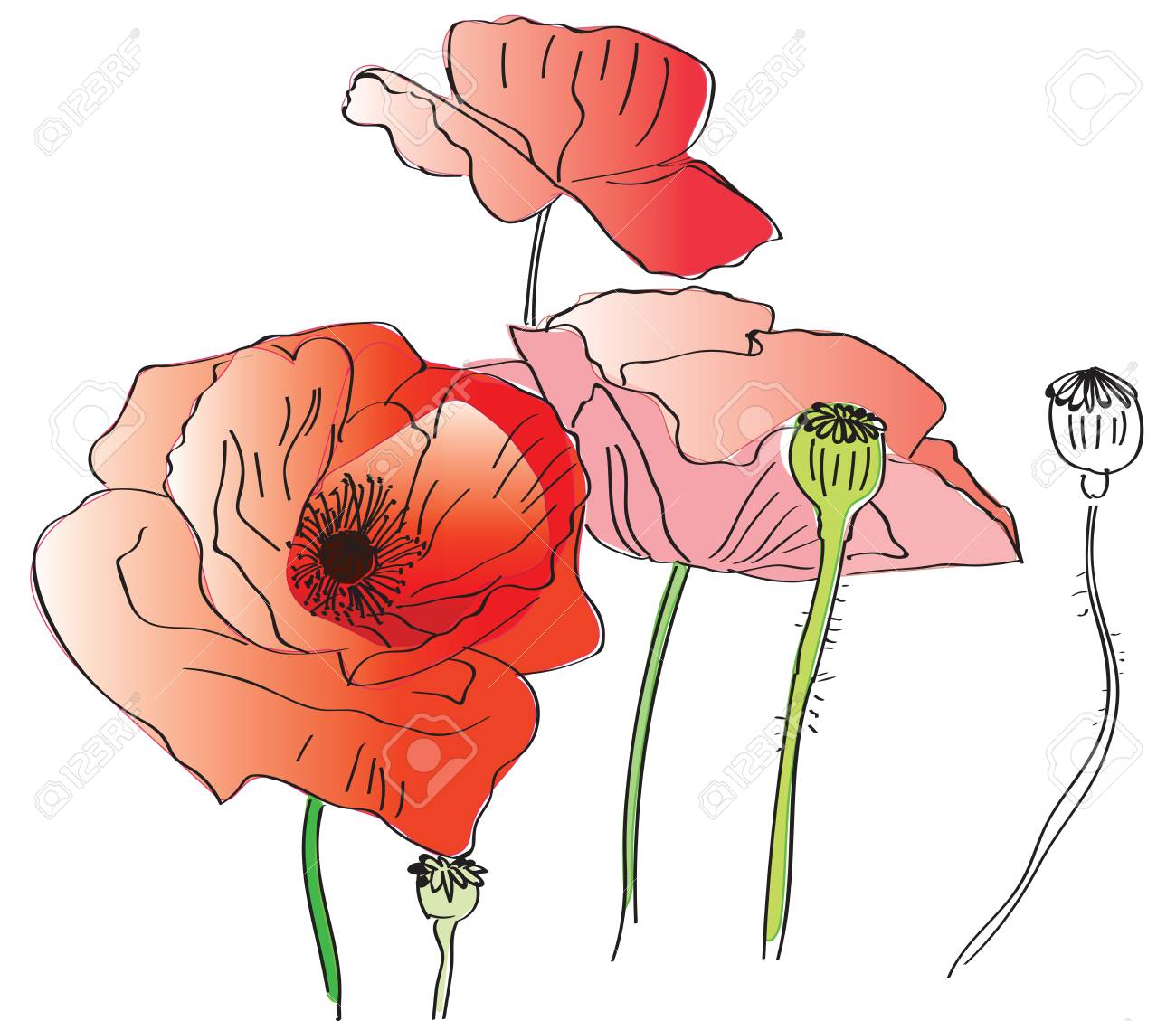 Poppy Flowers Drawing On Tablet Stock Photo Picture And Royalty