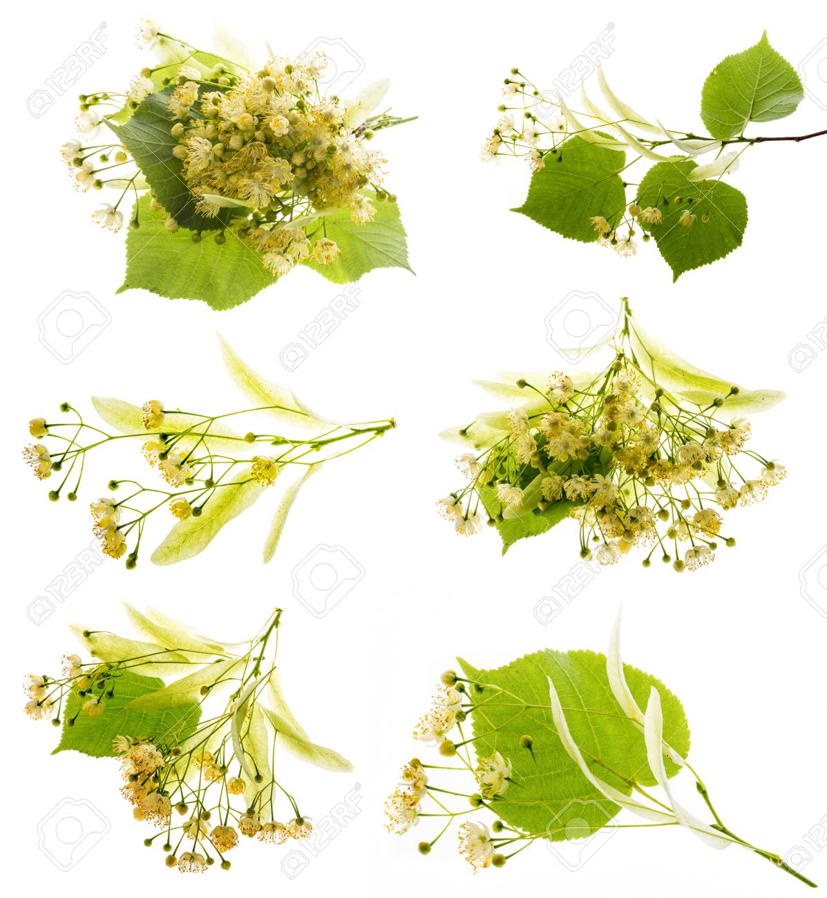 Linden flowers (Tilia cordata) collection isolated on a white background - 104891709