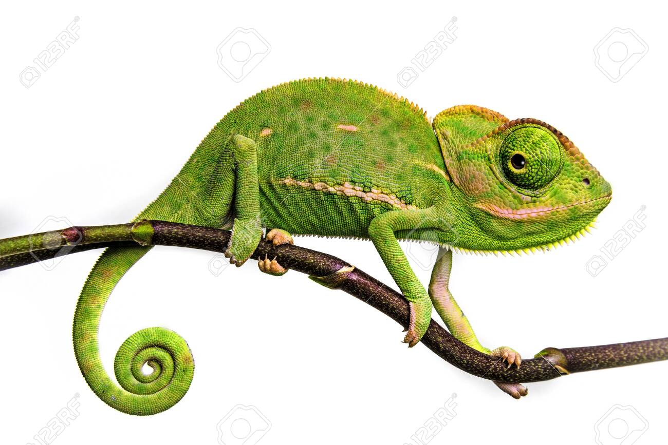 cute funny chameleon - Chamaeleo calyptratus on a branch - 129547711