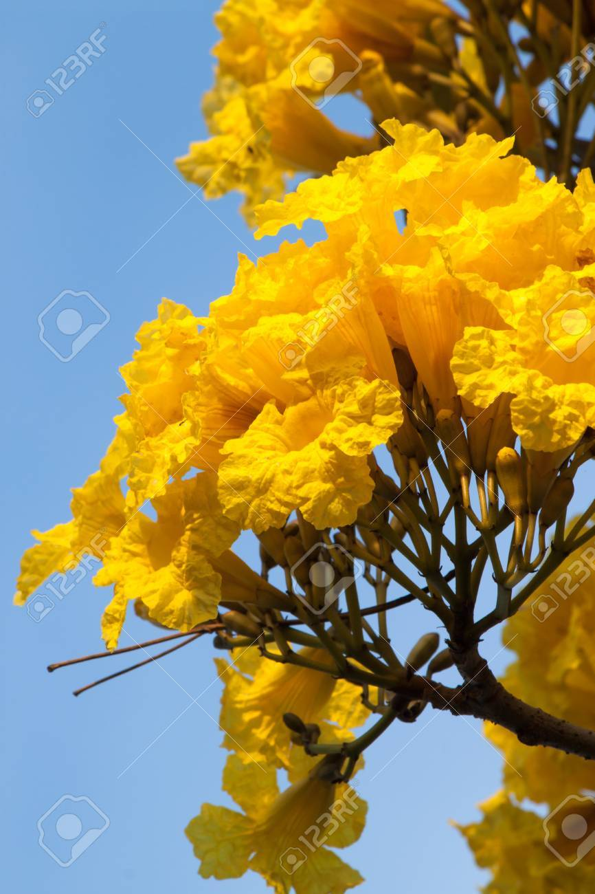 The Showy Tabebuia Tree Announces Springtime In South Florida