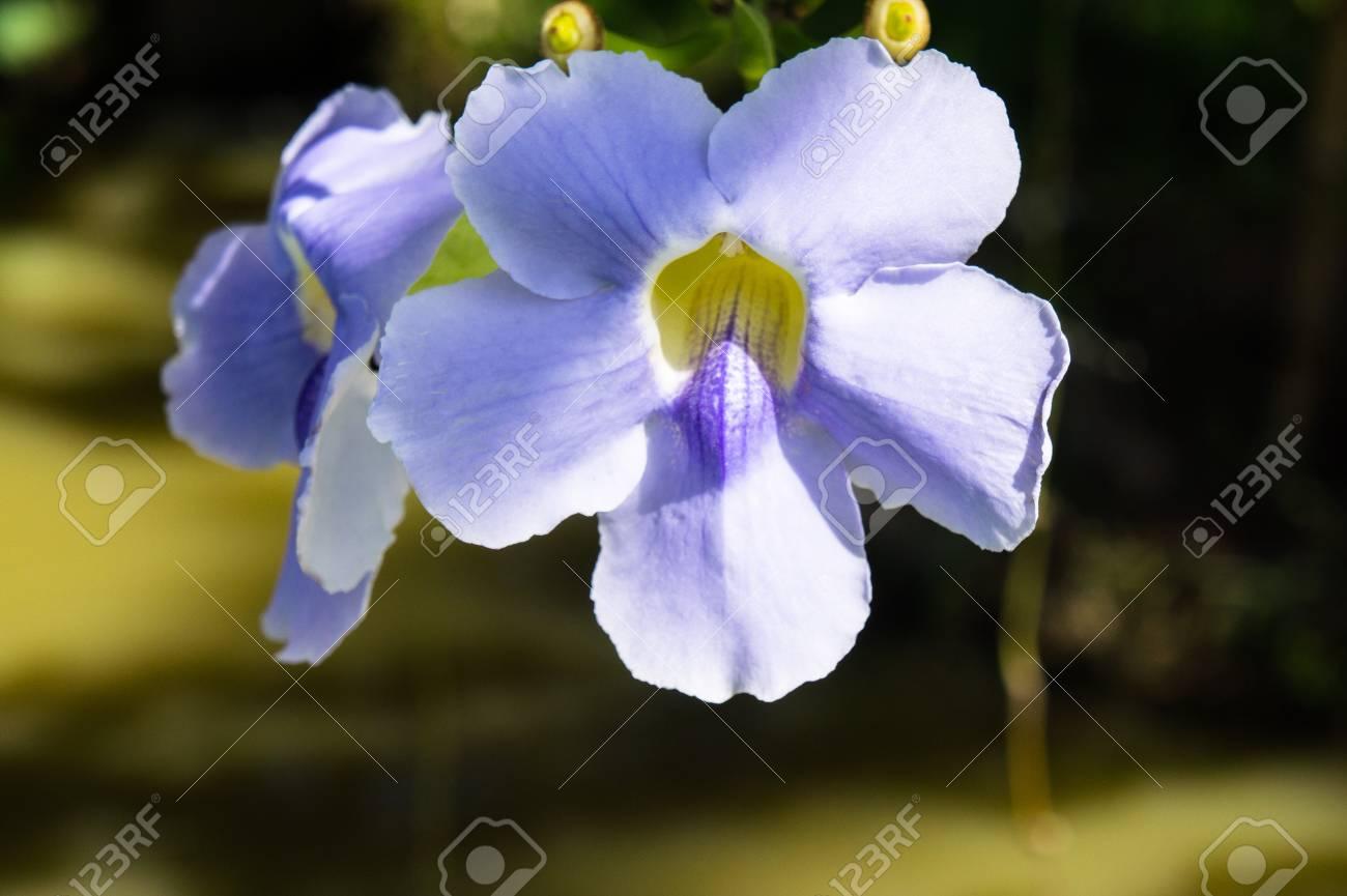 Schöne Blaue Lila Weich Schöne Blume Von Laurel Uhr Rebe, Blau ...