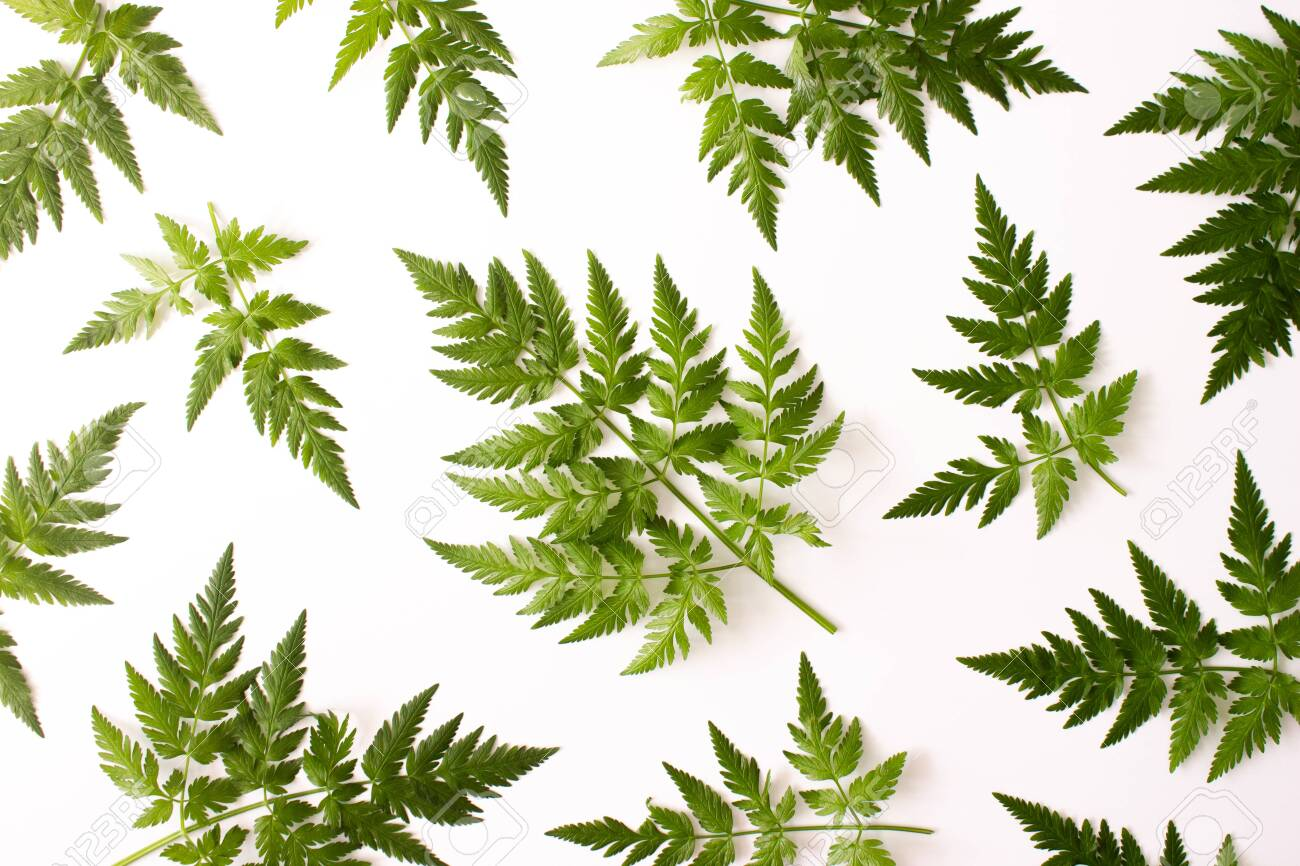 Pattern with fern green leaves isolated on white background top view. Floral nature flat lay. Foliage composition pattern. Ecology, organic background. Stock photo. - 147625951