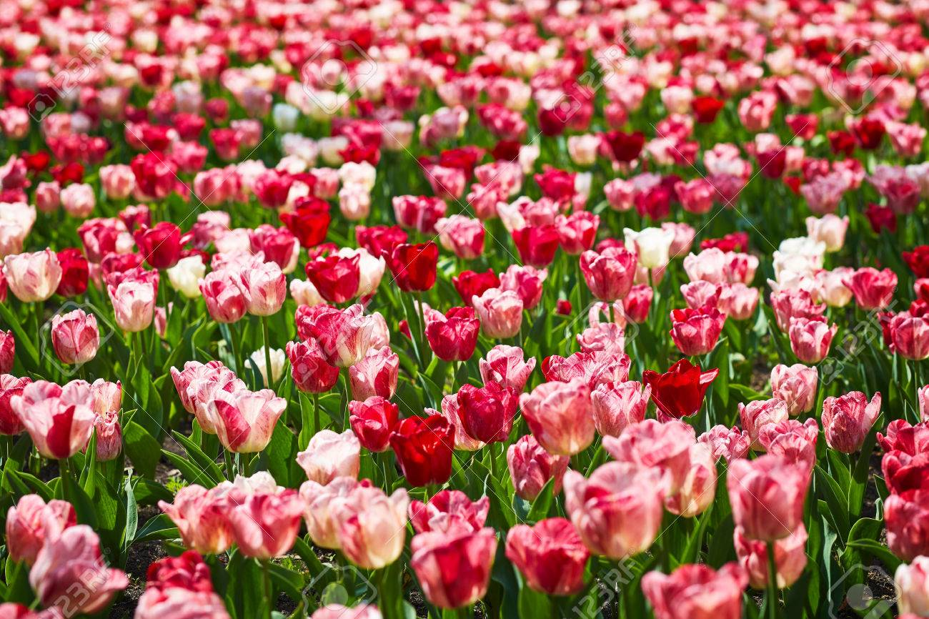 field of spring tulips flowers is a lot of bright mature flowers