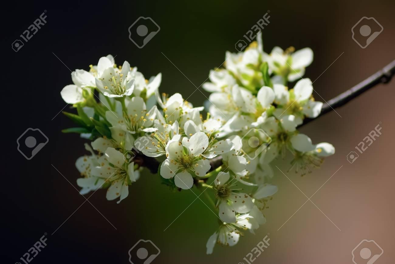 Photo Vintage De Fleur De Cerisier Blanc Au Printemps Faible