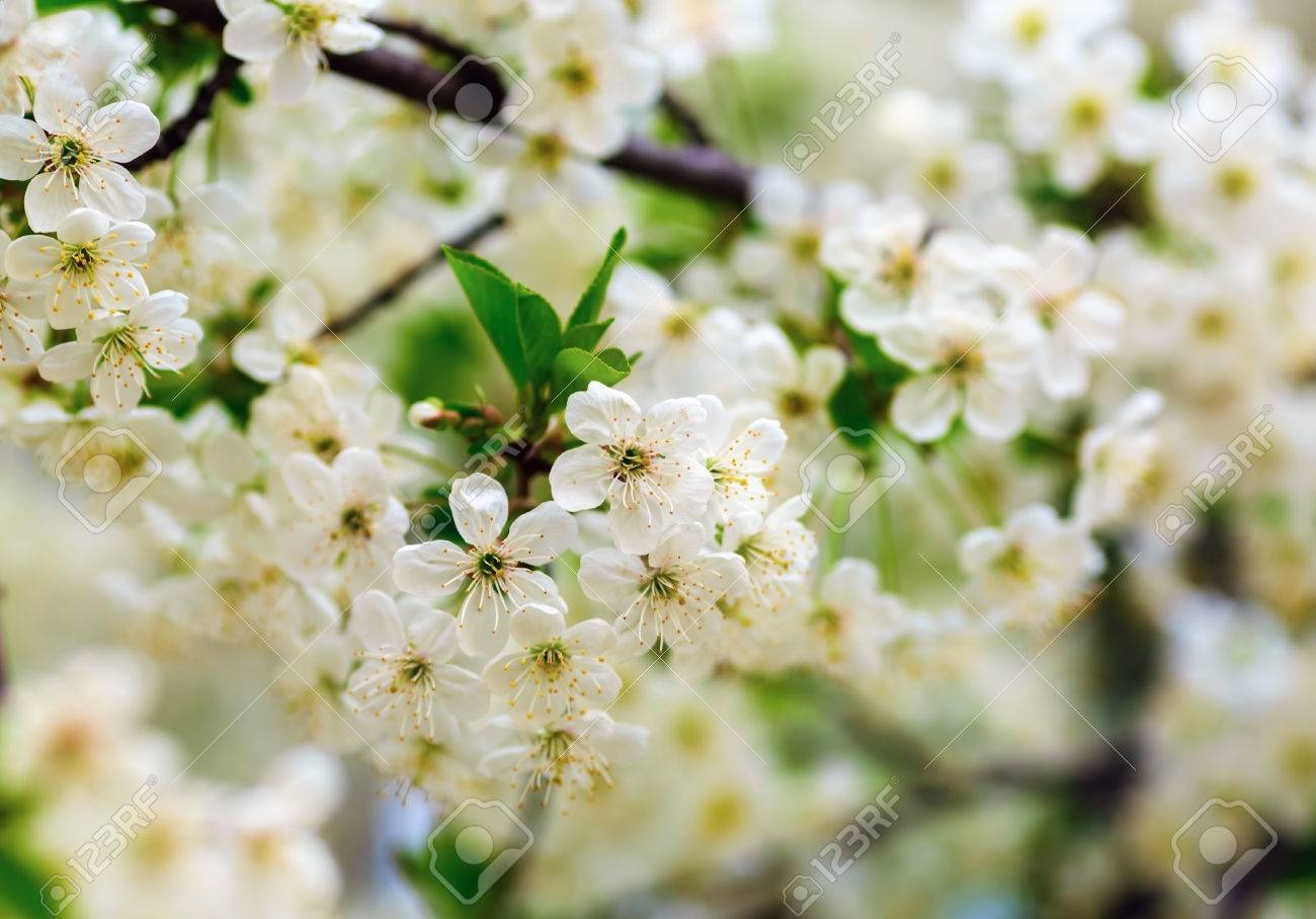 Albero Con Fiori Bianchi fioritura albero con fiori bianchi e foglie verdi su sfondo bokeh  offuscata. profondità di campo. messa a fuoco selettiva.
