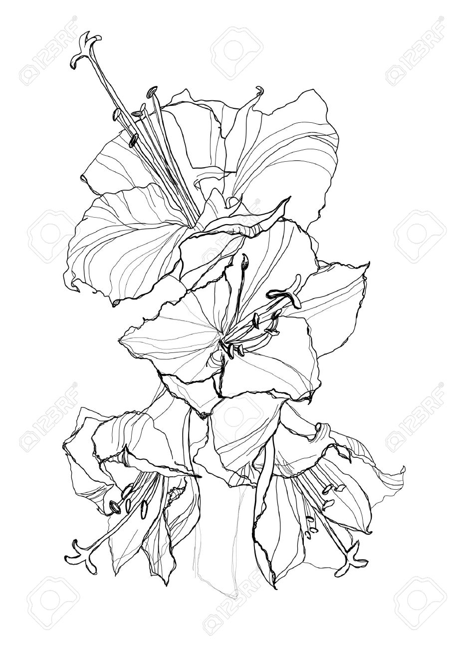 Hibiscus Flower Pencil Drawing On White Background Royalty Free