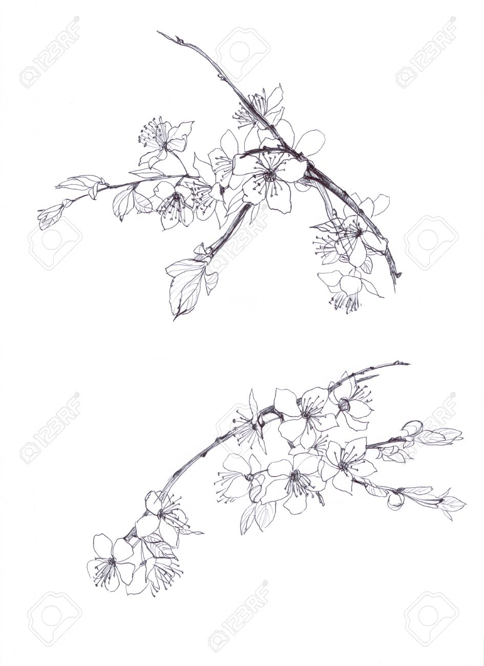 Uncategorized Cherry Blossom Branch Drawing cherry blossom hand drawn pencil stock photo picture and royalty 28232545