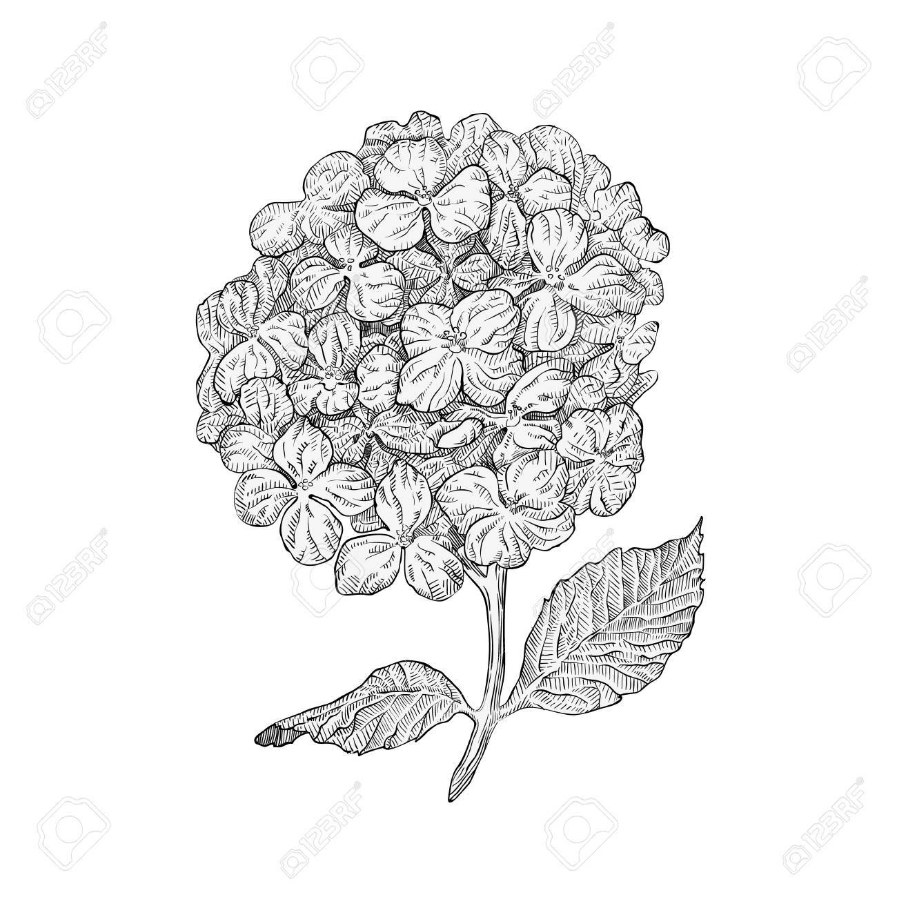 Flores De Hortensias Aisladas Sobre Fondo Blanco Dibujado A Mano De