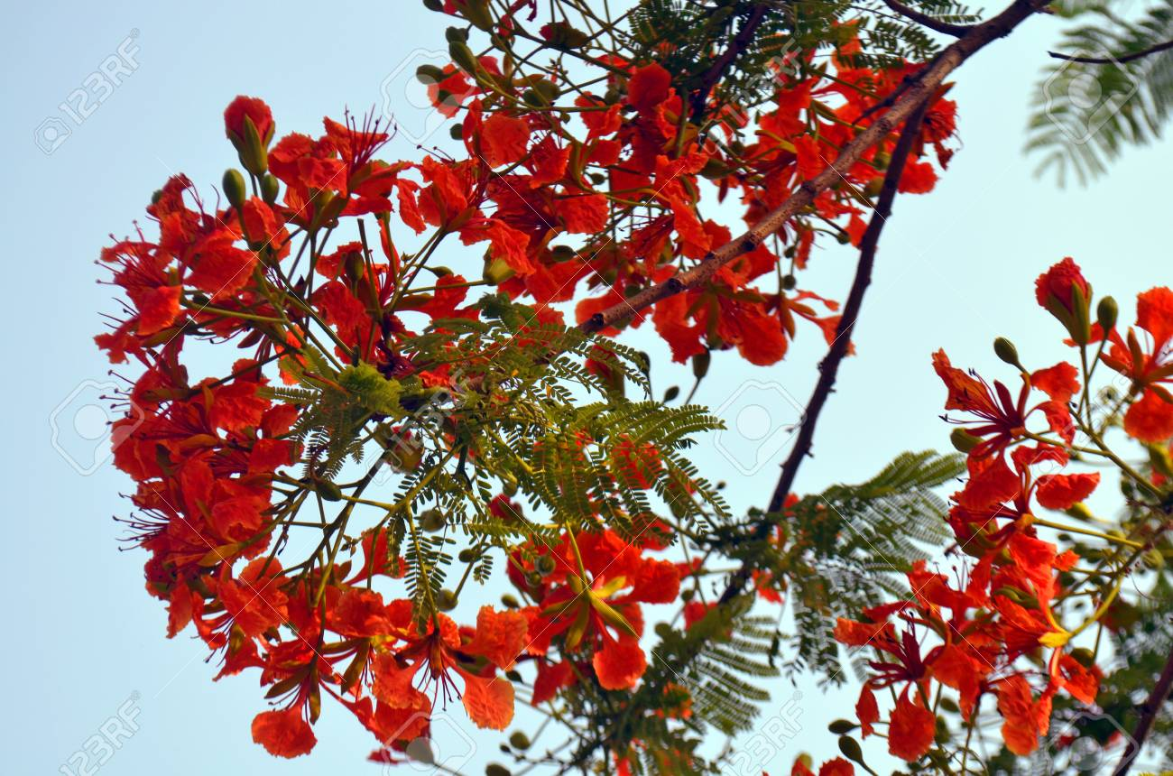 Blooming Of Tropical Flower Red Acacia In Lumbini Nepal Stock Photo