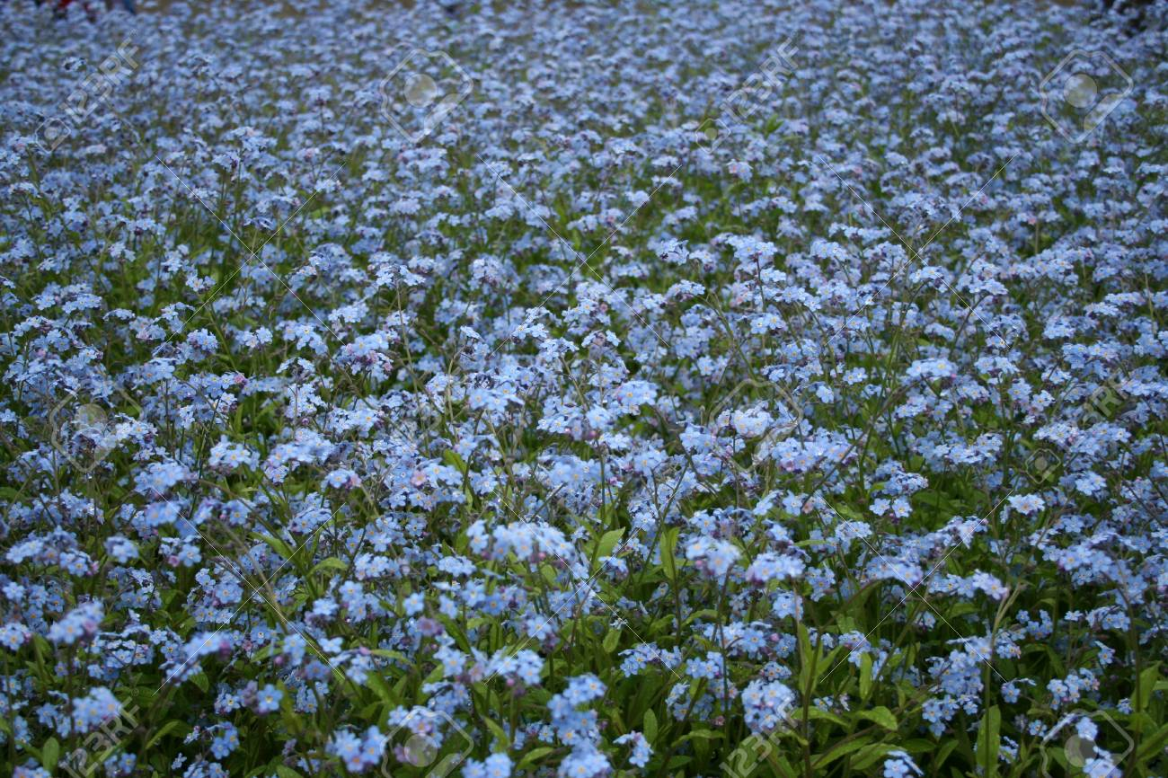Field Of Beautiful Little Blue Flowers In Spring Stock Photo