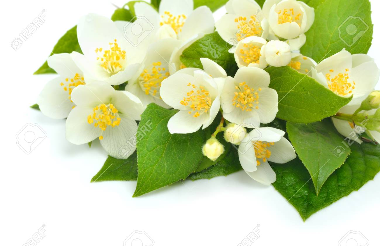 Jasmine Flower Bouquet Isolated On White Stock Photo, Picture And ...