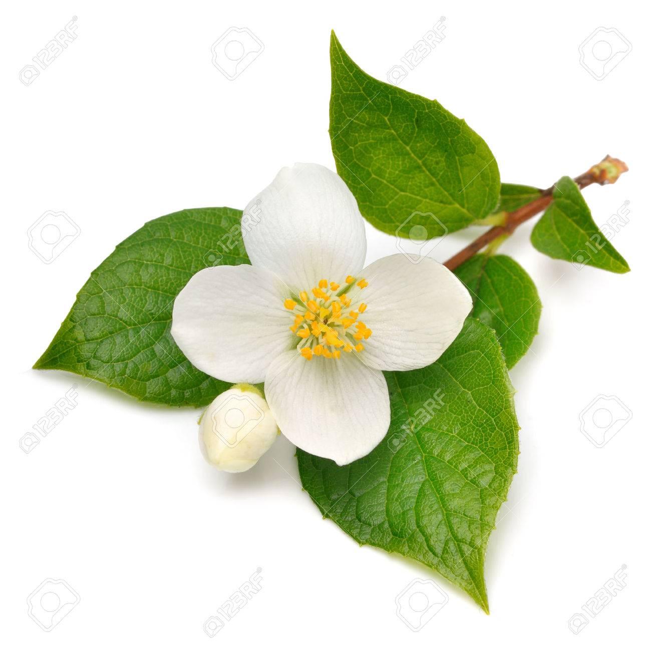 Jasmine flower isolated on white - 36631818