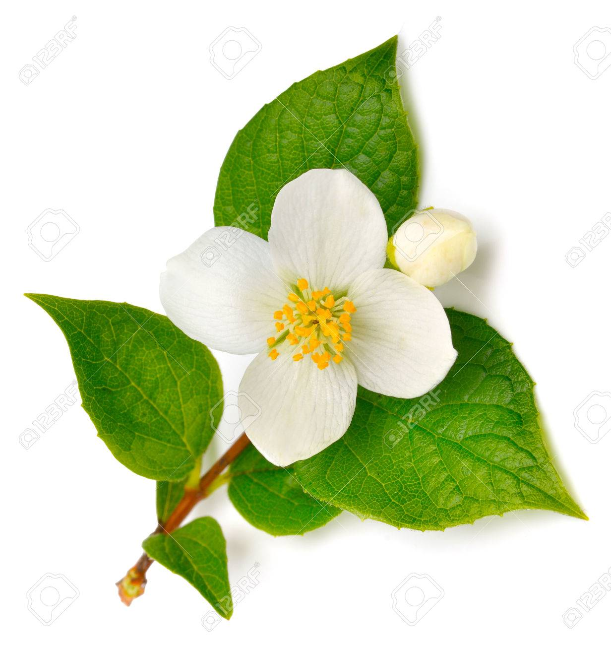 Jasmine flower isolated on white - 38430349