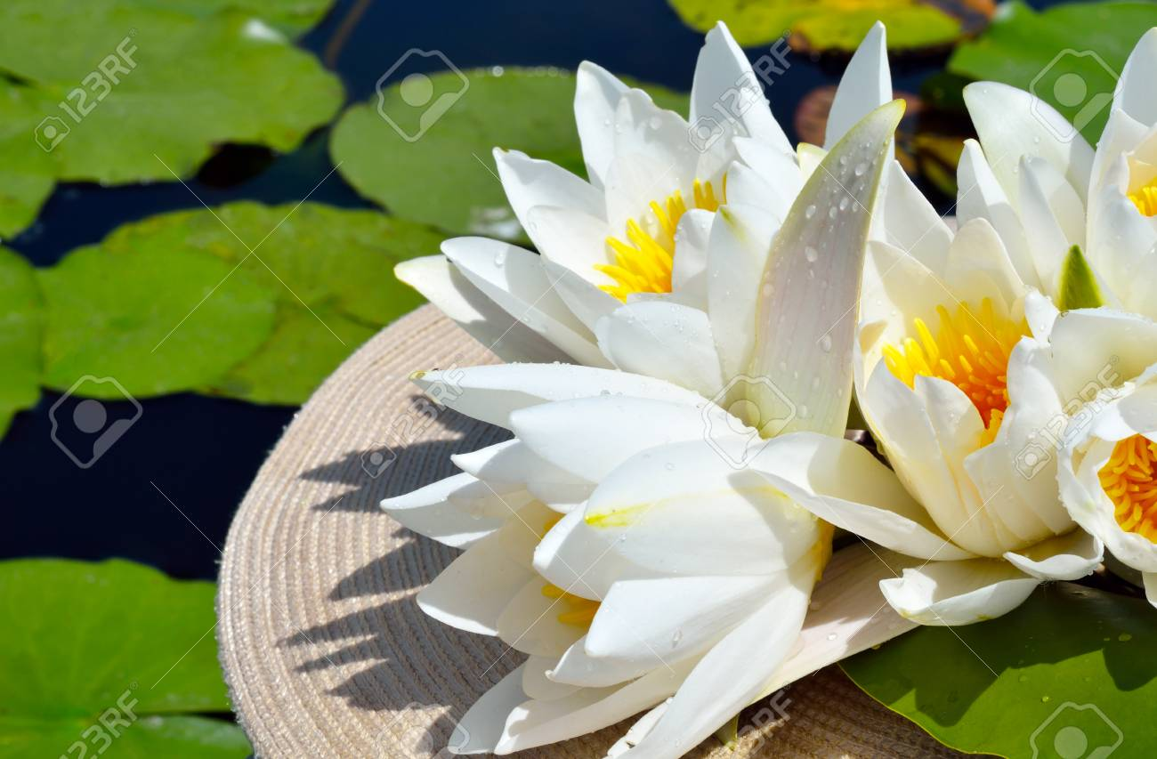Bouquet water lily on a lake among a green leaves. - 60807688